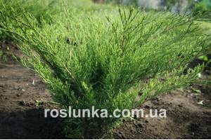 Ялівець козацький (Juniperus sabina)